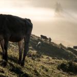 Viehscheid im Allgäu – Tradition trifft Tourismus